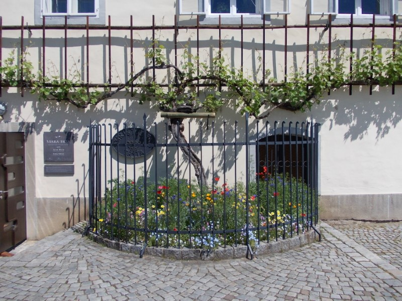 World?s Oldest Grapevine, Maribor